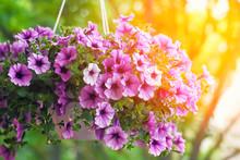 Purple Petunia Flowers In The ...