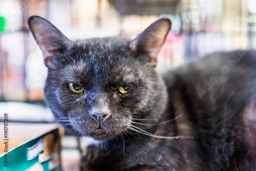 Fotografie, Obraz  Unhappy dirty angry black cat face closeup in cage in store