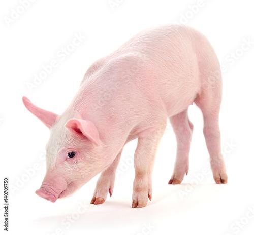 Fotografie, Obraz  Pig on white.