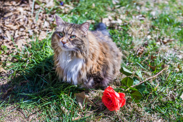 Naklejka na ściany i meble Portrait of calico maine coon cat outside by red rose