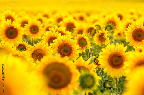 Poster Tournesol Sunflower field, backlit.