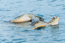 Green Sea Turtles (Chelonia My...