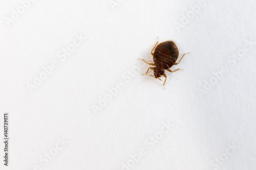 Foto bed bug top view