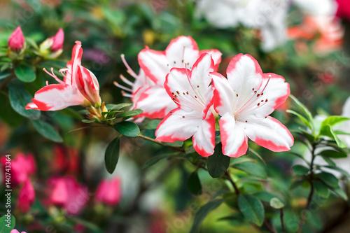 Papiers peints Azalea Beautiful pink rhododendron tree blossoms in springtime. Azalea in greenhouse. Closeup Pink Desert Rose flower soft focus. Concept image for interior design. Urban gardening.