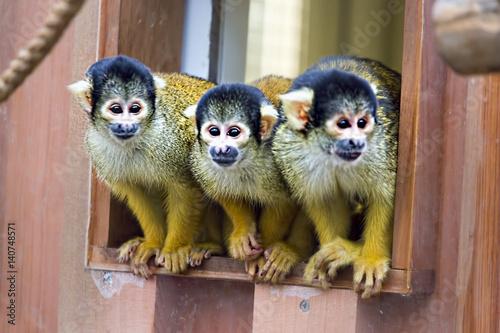 Capuchin monkey Fototapet