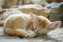 Close-up Of A Sleeping Fennec ...