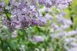 Bunch of light purple lilac flowers