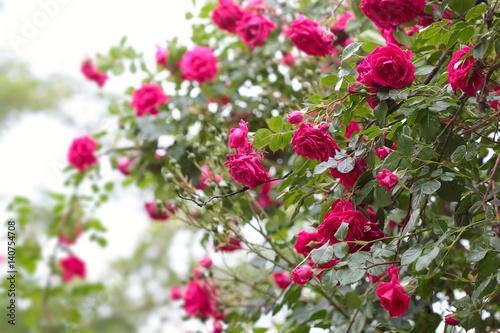 Cadres-photo bureau Jardin Big Bush beautiful big climbing roses with green leaves