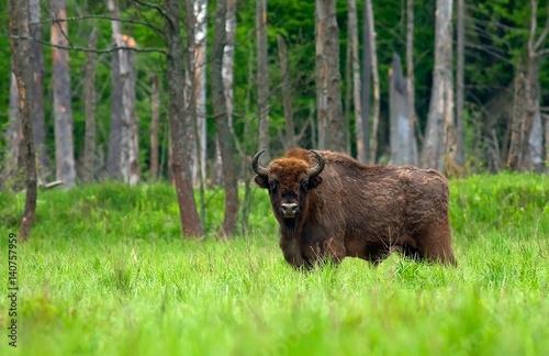 Fotoposter Bison Król Puszczy
