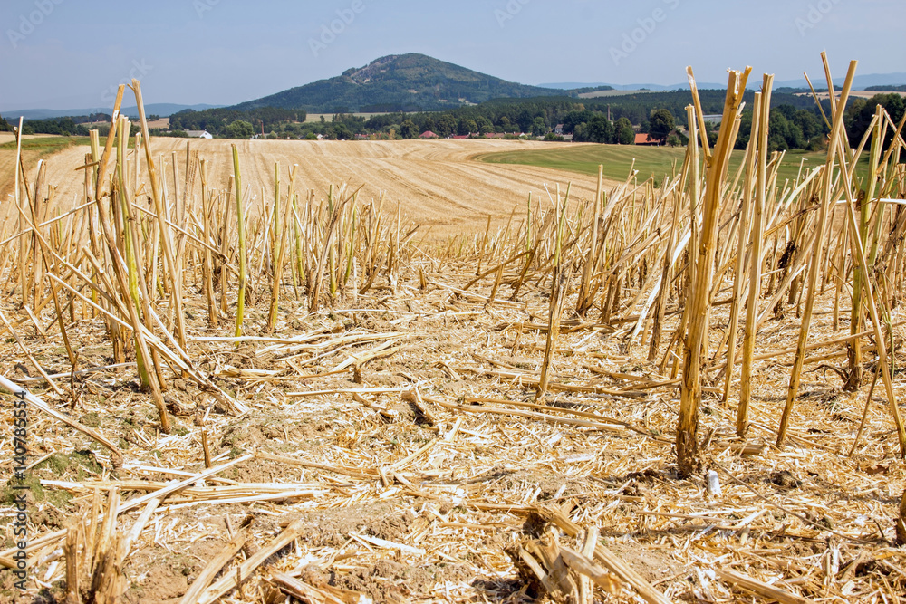 Fototapeta straw stubble after harvesting on farm field