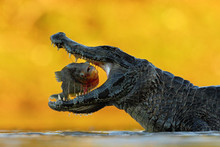 Crocodile With Open Muzzle. Yacare Caiman, Crocodile With Fish In With Evening Sun, Pantanal, Brazil. Wildlife Scene From Nature. Animal Behaviour In River Habitat, South America. Mouth With Piranha.