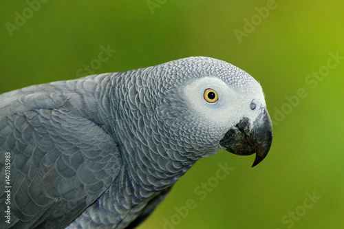 Detail portrait of beautiful grey parrot. African Grey Parrot, Psittacus erithacus, sitting on the branch, Africa. Bird from the Gabon green tropic forest. Close-up portrait of rare bird from Congo.