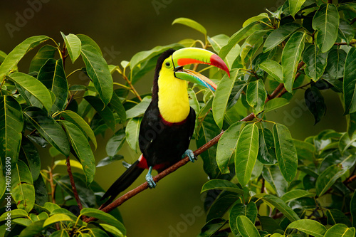 In de dag Toekan Toucan sitting on the branch in the forest, Boca Tapada, green vegetation, Costa Rica. Nature travel in central America. Keel-billed Toucan, Ramphastos sulfuratus, bird with big bill.