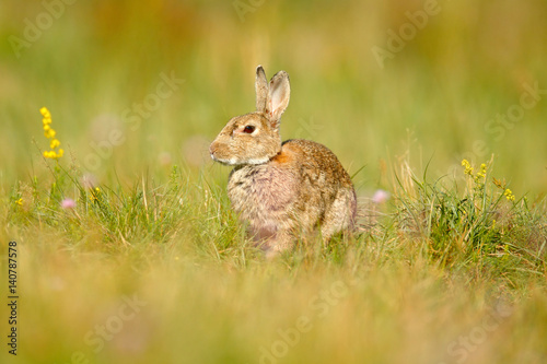 Fotobehang Ree Animal in nature habitat, life in the meadow, Germany. European rabbit or common rabbit, Oryctolagus cuniculus, hidden in the grass. Wildlife Europe. Cute rabbit with flower dandelion sitting in grass