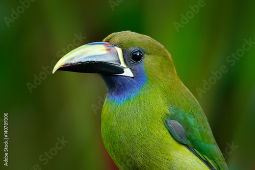 In de dag Toekan Blue-throated Toucanet, Aulacorhynchus prasinus, green toucan bird in the nature habitat, exotic animal in tropical forest, Costa Rica. Wildlife scene from nature. Exotic bird in the tropic forest.