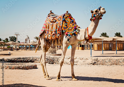 Camel standing to his full height, using for tourist trips to Hurghada, Egypt