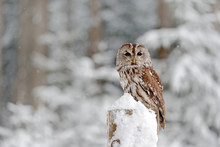 Tawny Owl Snow Covered In Snowfall During Winter, Snowy Forest In Background, Nature Habitat. Wildlife Scene From Slovakia. Cold Winter Forest With Bird. Spruce Trees With Snow.