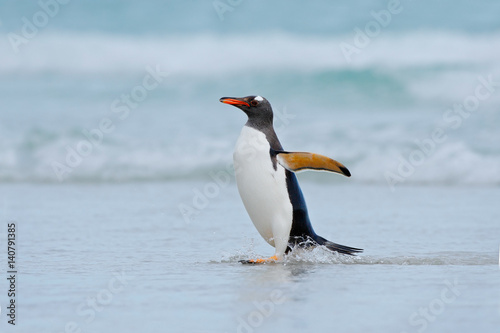 Papiers peints Pingouin Gentoo penguin jumps out of the blue water while swimming through the ocean in Falkland Island