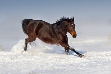 Bay horse run gallop in snow field