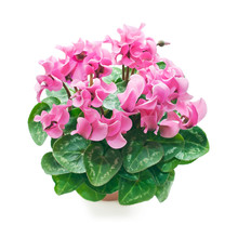 Beautiful Blooming Cyclamen I...