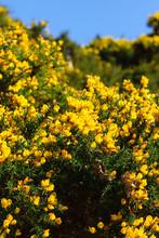 Wild Common Gorse Or Ulex Europaeus A Wild Flowering Evergreen Shrub