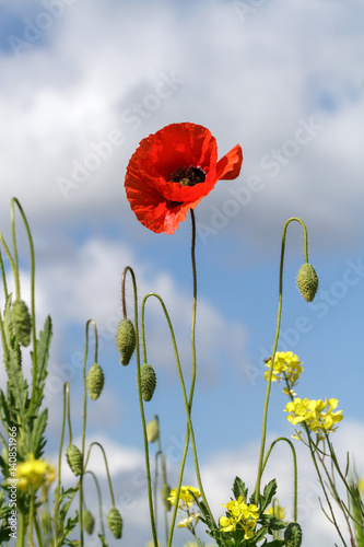 Ingelijste posters Bloemenwinkel Lonely poppy on a background of yellow flowers and cloudy sky