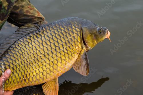 Releasing a big mirror carp