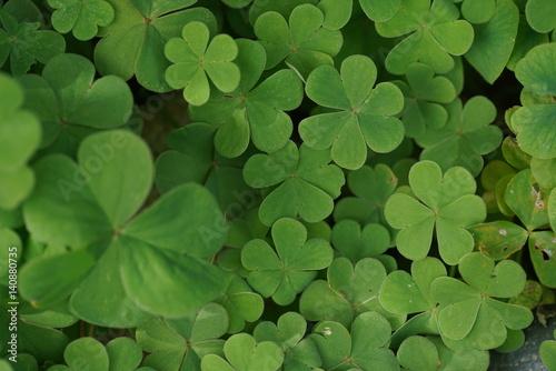 Fotografija  Clover leaves background