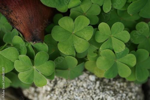 Clover leaves background Slika na platnu