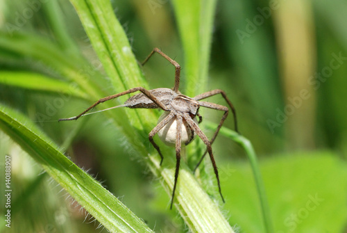 A female wolf spider carries her egg sac through the undergrowth
