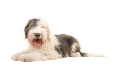 Old English Sheep Dog Young Adult Lying On The Floor Seen From The Side Isolated On A White Background