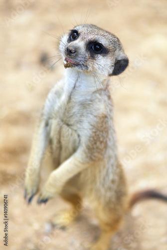 Photo Stands Kangaroo Ground squirrel