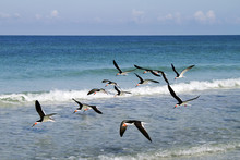 A Flock Of Black Skimmers Flying Over The Beach At St. Pete Beach, Florida
