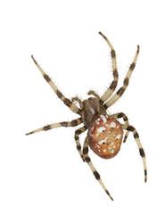 The female spiders Araneus marmoreus. Macro. On white background.