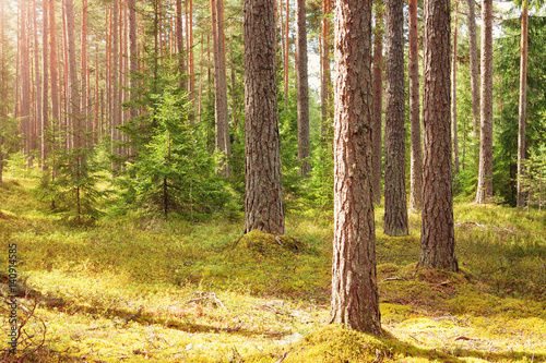 Canvas Prints Honey pine forest panorama in summer. Trees in the woods with beautiful sunlight