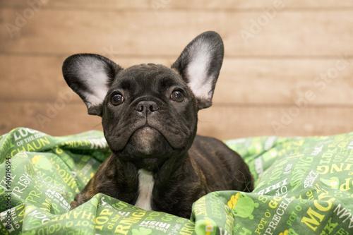 Foto op Plexiglas Franse bulldog French Bulldog puppy is ready for St. Patrick's Day