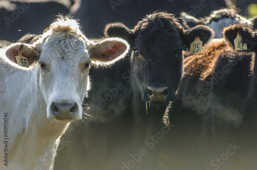 Beef cattle around feed trough Fotobehang