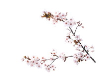 Cherry Blossom Branch, Isolate...
