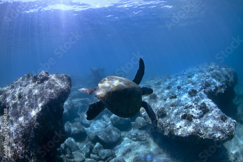 Deurstickers Schildpad Sea Turtle Swimming Underwater Between Two Rocks In Hawaii