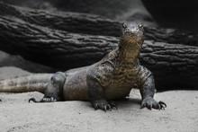 The Komodo Dragon (Varanus Kom...