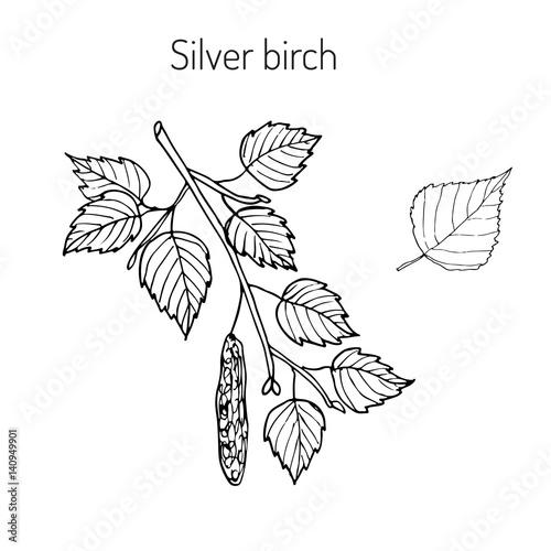 Obraz na plátně Silver birch branch with leaves