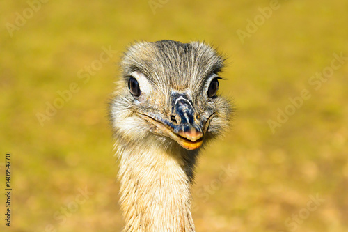 Portrait of emu. The ostrich is looking into the lens. Rhea americana. Detailed photo ostrich head. Large orange eye. Mini Zoo in Castolovice.
