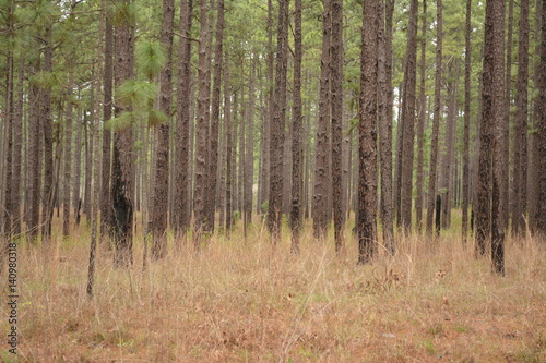 Pine Forest after a prescribed wildlife burn Tablou Canvas