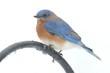 Male Eastern Bluebird on a pole
