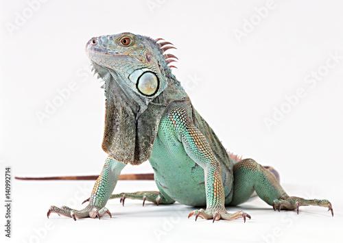 Obraz na plátně Green Iguana