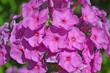 Leinwanddruck Bild - flower; blossom; spring; tree; cherry; dog; cat.