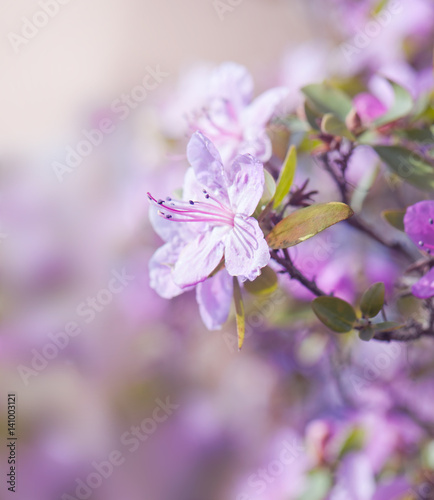 Blooming azaleas on a blurred background. Spring card with space