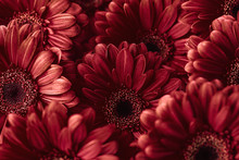 Group Od Red Gerberas, Macro Photography And Flowers Background
