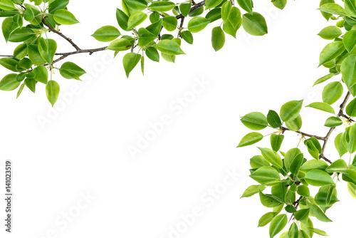Fotografia  branch of pear wood