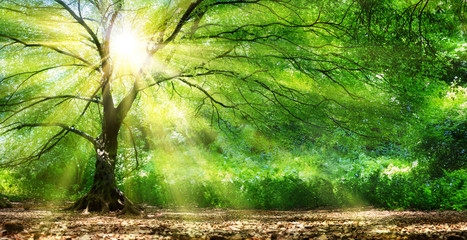 Fototapeta Inspiracje na lato Tree With Sunshine In Wild Forest